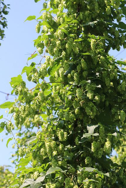 ホップはツル状の植物